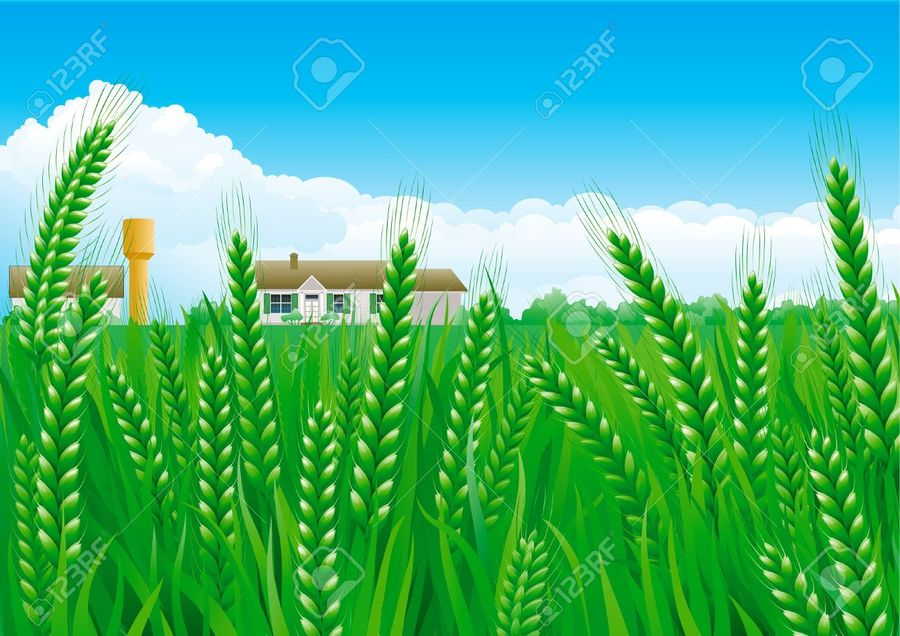 900x636 Download Green Wheat Field Vector Clipart Wheat Clip Art Wheat