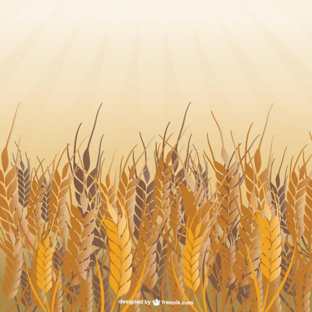 626x626 Field Of Wheat Vector Vector Free Download