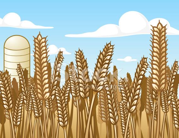 569x440 Wheat Field Vector Illustration Stock Vector