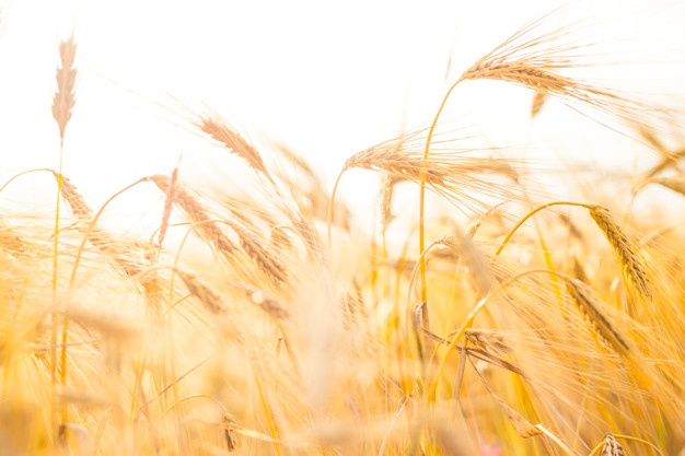626x417 Wheat Field Vectors, Photos And Psd Files Free Download