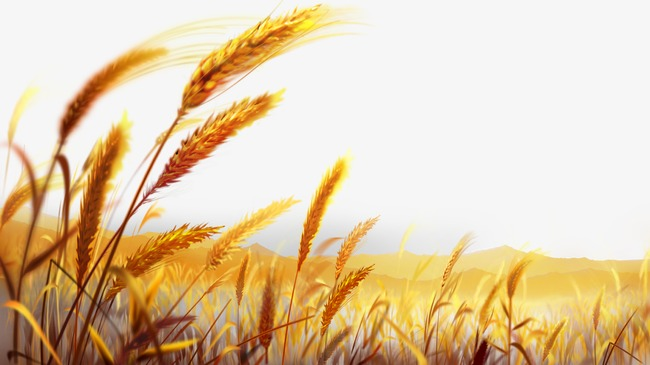 650x365 Beautiful Golden Wheat Field, Wheat Wheat, Harvest Season, Paddy
