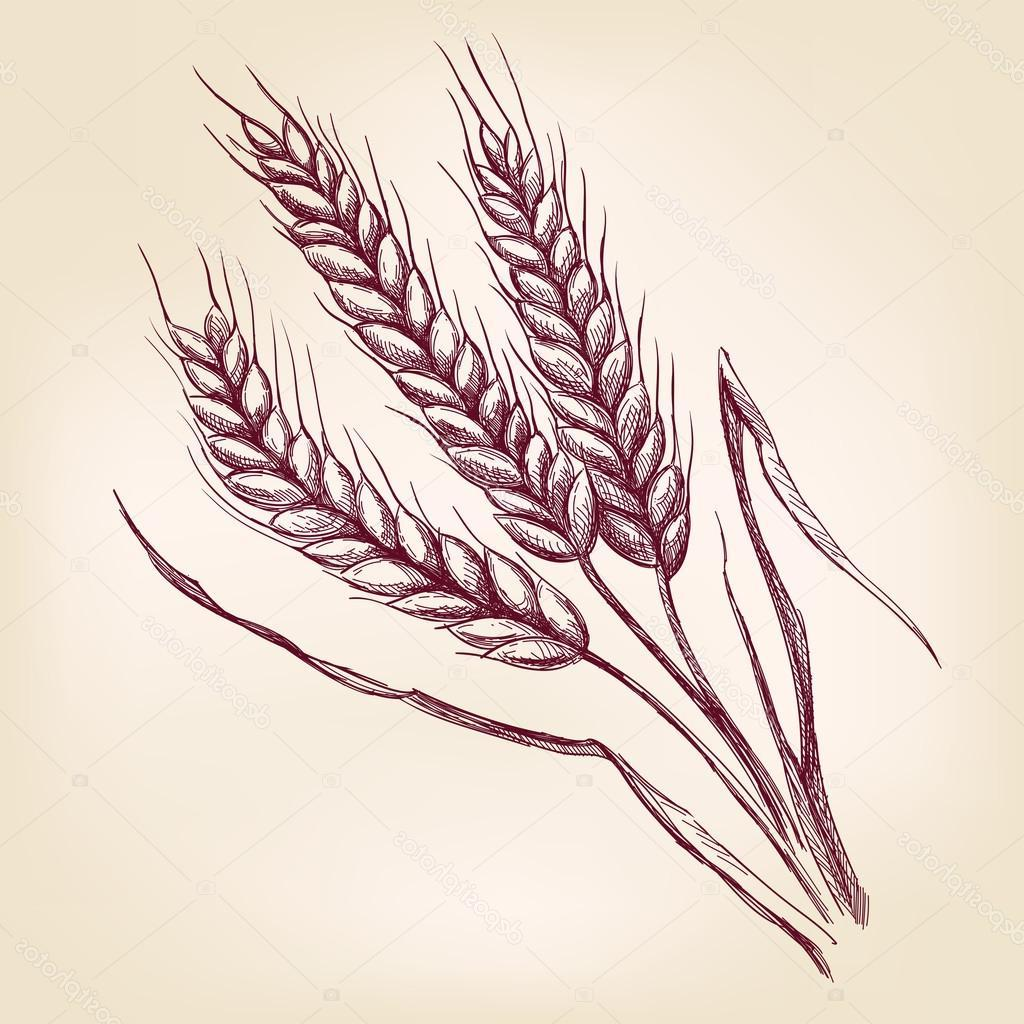 1024x1024 Best Free Hand Drawn Images Of Wheat Vector Drawing Free Vector
