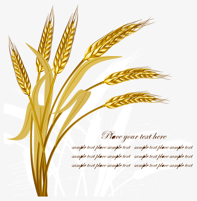 650x663 Golden Wheat Vector, Wheat, Gold, Leaf Png And Vector For Free
