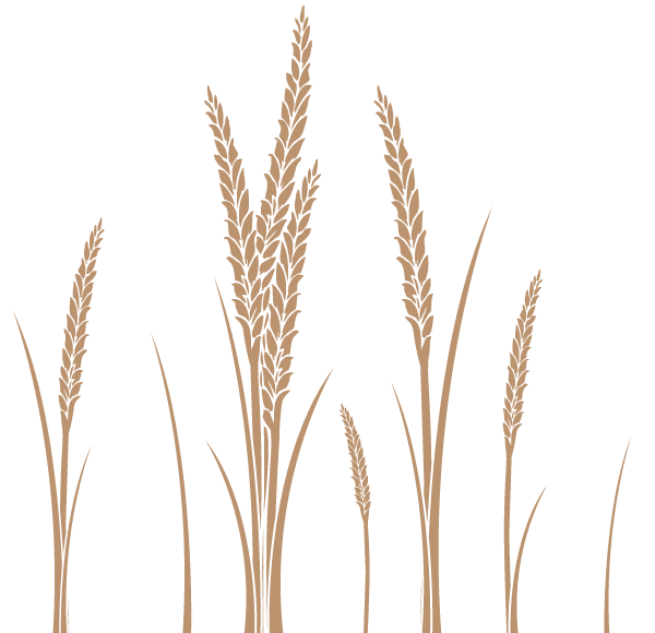 600x580 Ear Of Wheat Vector Art Free 123freevectors