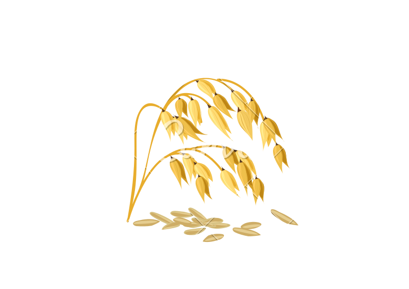 800x565 Wheat Grain Vector