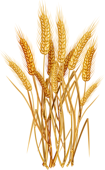 433x698 Collection Of Free Wheat Vector Grain. Download On Ubisafe