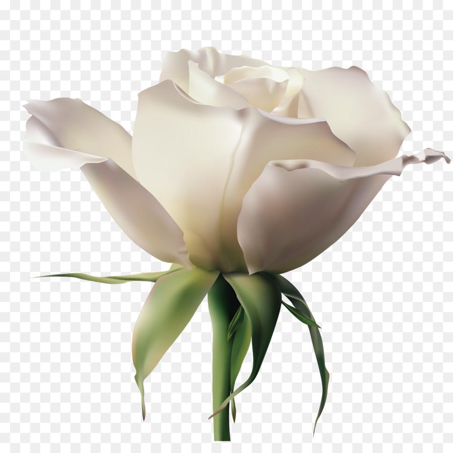 900x900 Garden Roses Rosa Xd7 Alba Euclidean Vector Flower