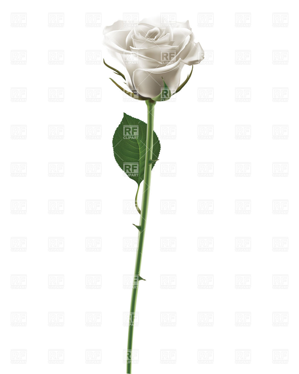 960x1200 White Rose Isolated On White Vector Image Vector Artwork Of