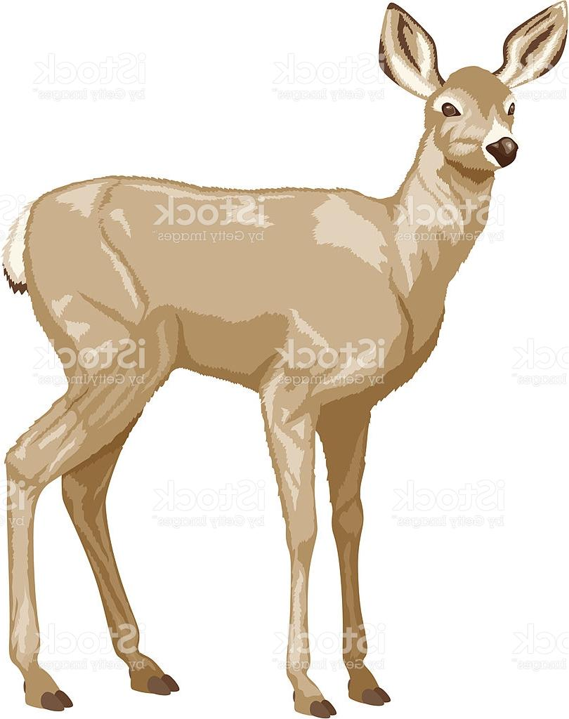 810x1024 Top White Tailed Deer Vector Pictures