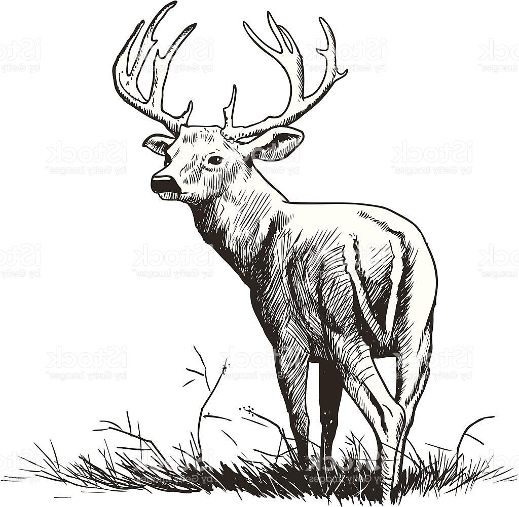 1024x1002 Unique Whitetail Deer Illustration Vector Photos