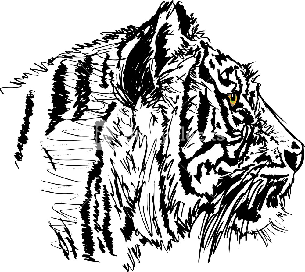 1000x893 Sketch Of White Tiger. Vector Illustration Royalty Free Stock
