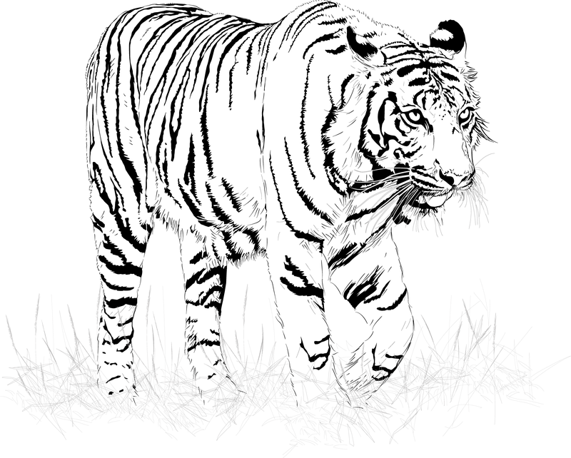 800x642 Black And White Tiger Vector