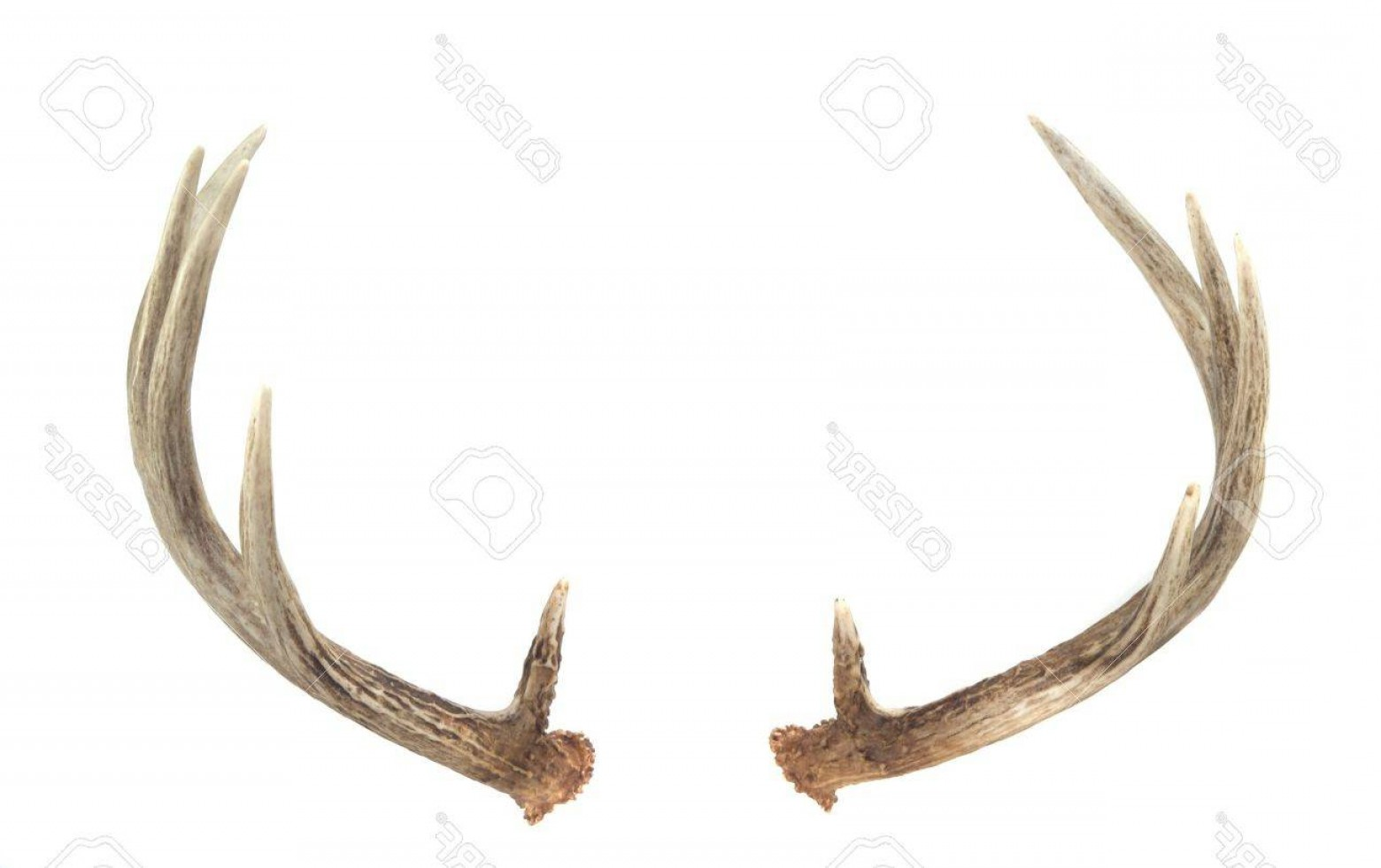 1560x981 Photorear View Of Whitetail Deer Antlers Isolated On White