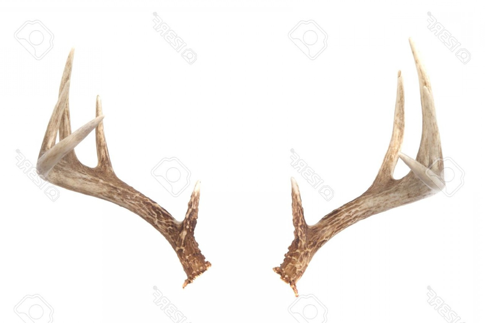 1560x1038 Whitetail Deer Antlers Vector Rongholland