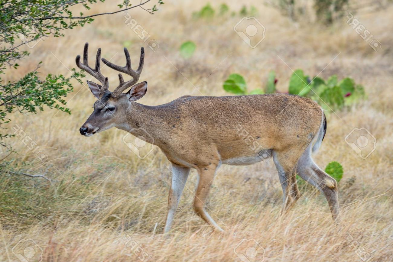 1300x867 Best Hd Just Pics Of Whitetail Deer Vector Photos Free Vector
