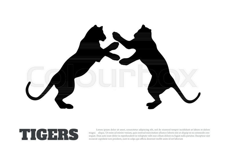 800x534 Black Silhouette Of Fighting Tigers On White Background. Isolated