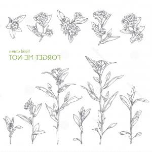300x300 Stock Illustration Hand Drawn Flower Forget Me Not Herbs Vector