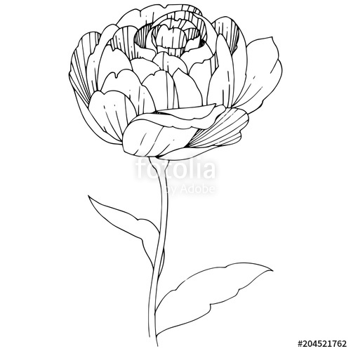 500x500 Wildflower Peony Flower In A Vector Style Isolated. Full Name Of