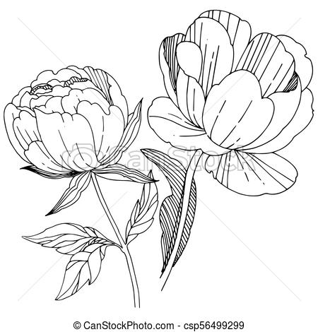 450x470 Wildflower Peony Flower In A Vector Style Isolated. Full... Eps