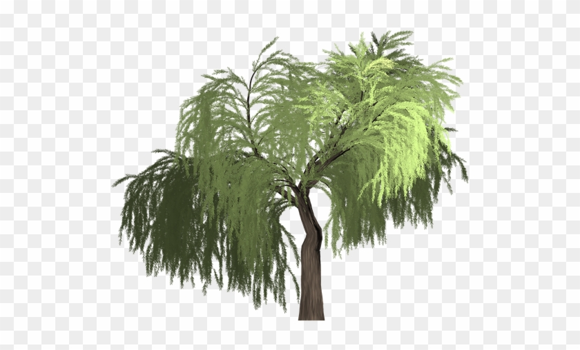 840x508 Collection Of Willow Tree Vector
