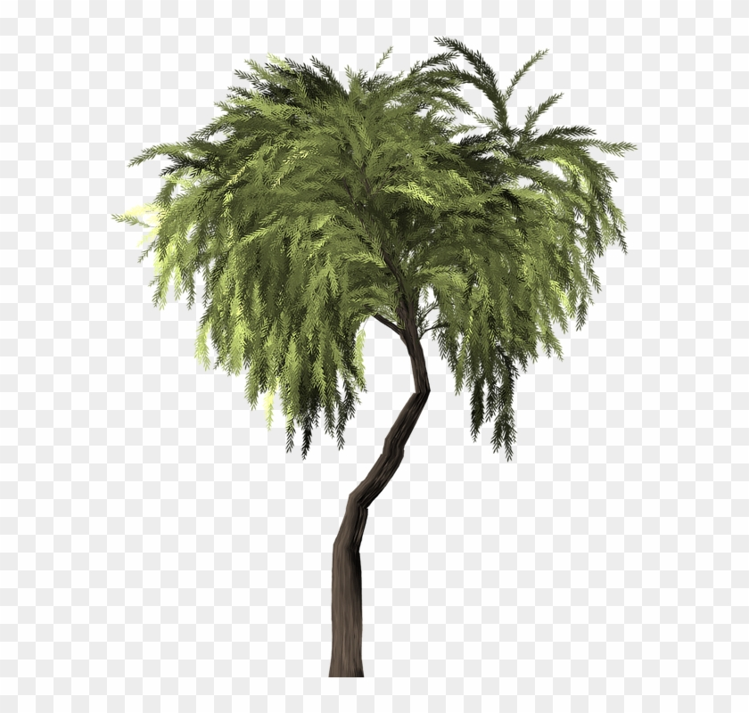 840x800 Collection Of Willow Tree Vector