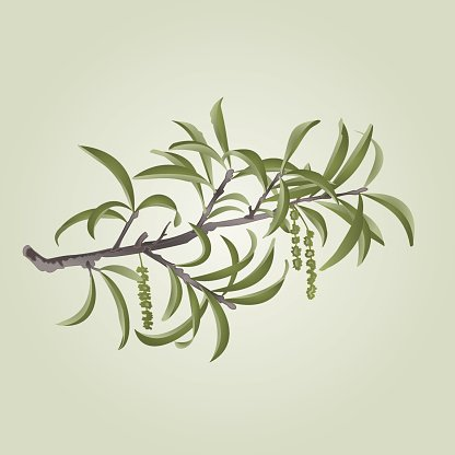 416x416 Willow Branch With Catkins Vector Premium Clipart