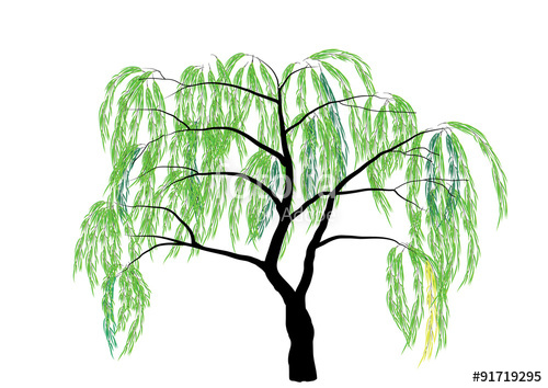 500x354 Willow Tree Vector Illustration Stock Image And Royalty Free