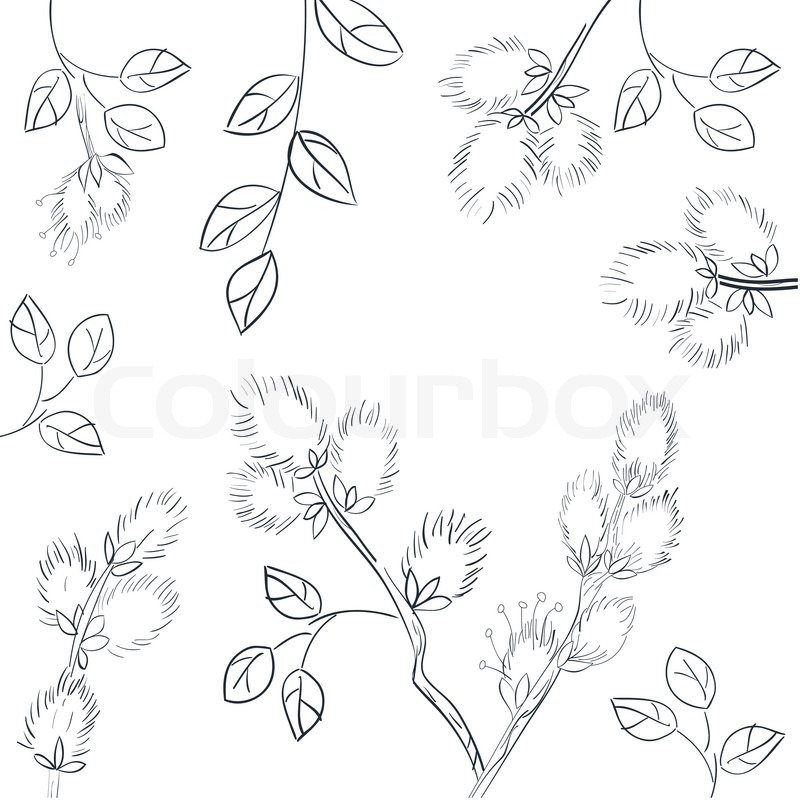 800x800 Floral Background With Pussy Willow Stock Vector Colourbox