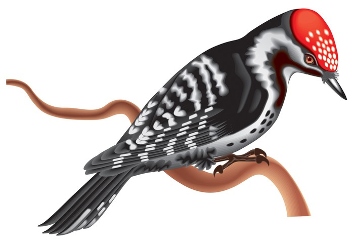 700x480 Woodpecker Vector Wall Mural We Live To Change