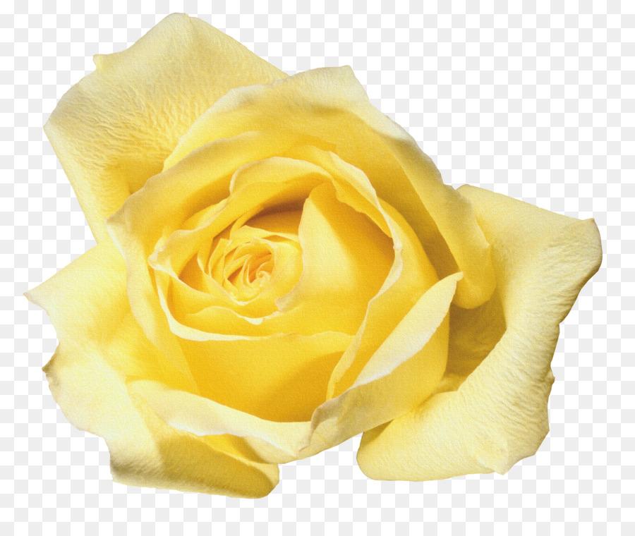 900x760 Beach Rose Flower Yellow Blue Rose