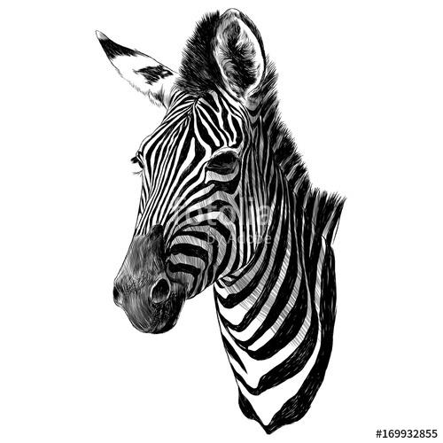 500x500 Zebra Head Sketch Vector Graphics Monochrome Drawing Stock Image