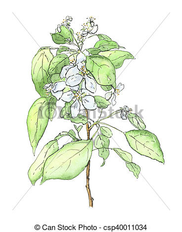 368x470 Hand Drawn Watercolor Apple Tree On White Background.