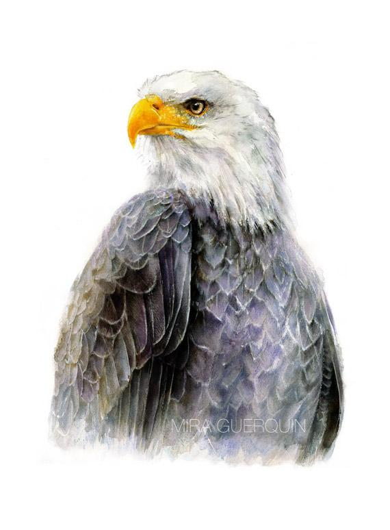 570x774 Bald Eagle Watercolor Archival Print Mira Guerquin Watercolors