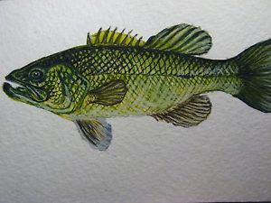 300x225 Watercolor Painting Bass Fishing Fish Aceo Art Ebay