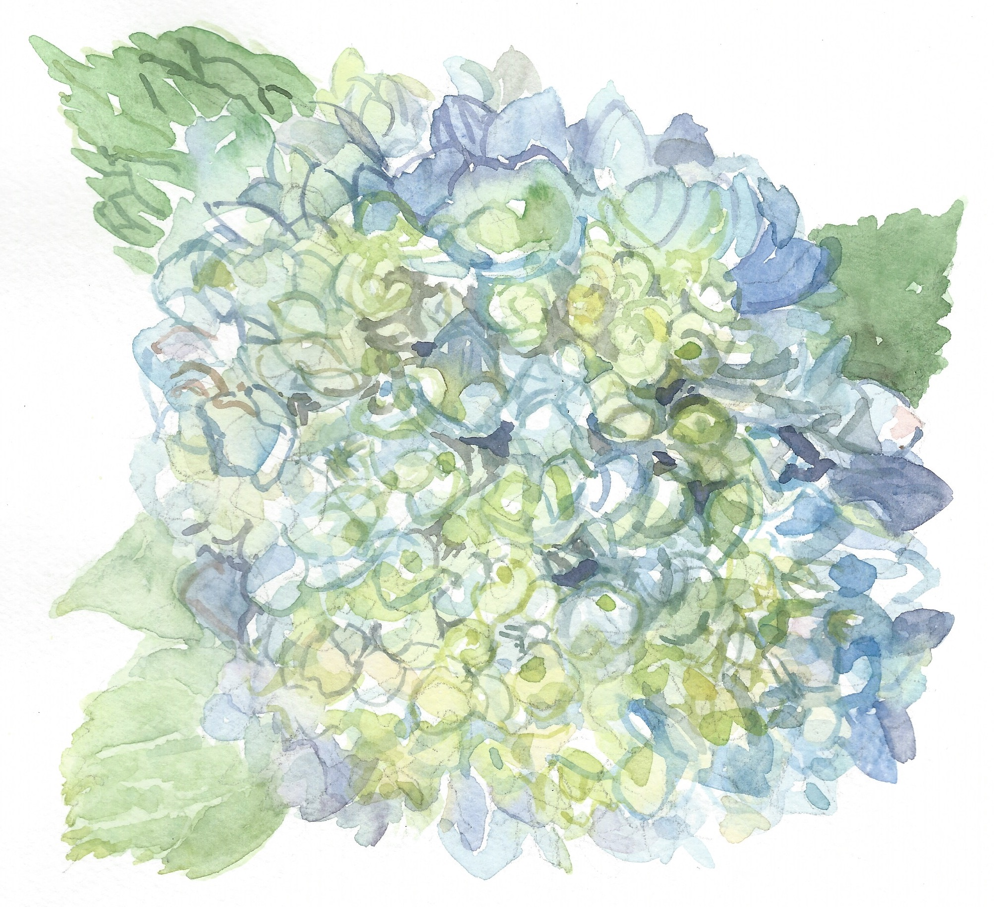 Blue Hydrangea Watercolor