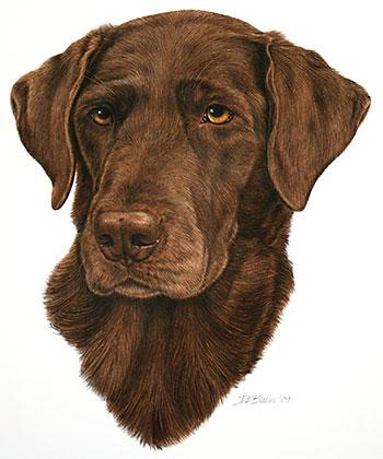 350x420 Chocolate Labrador Retriever Portrait Mungo Works