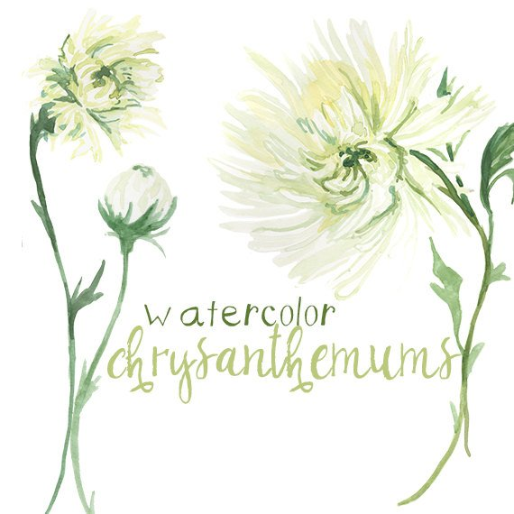 570x570 Watercolor Chrysanthemum Flower Clipart White Petals Instant Etsy