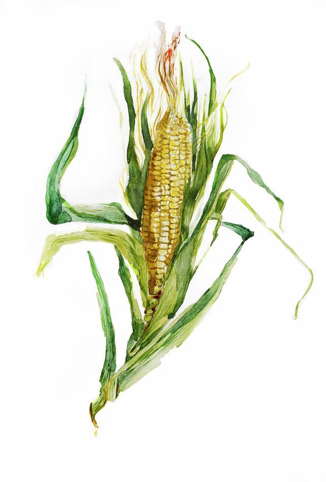 642x950 Corn Print Watercolor Corn Watercolor Art Print Food Print Etsy