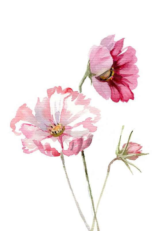 570x800 Cosmos Flower Watercolor Botanic Painting Giclee Print