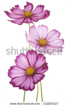 236x369 Cosmos Flower Tattoos Cosmos Flower Tattoo Cosmos Flowers Tattoo