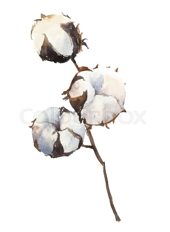 586x800 Watercolor Cotton Plant Branch Isolated On White Background. Hand