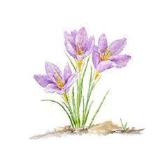 236x221 Purple Crocus Watercolor Print Minature Water Colors