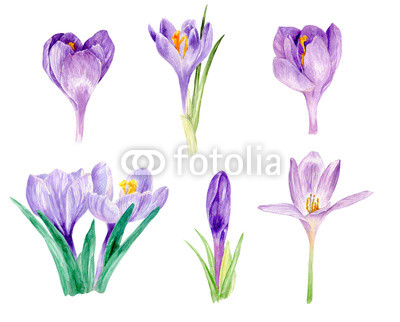 400x322 Watercolor Crocus, Watercolor Illustration, Floral Watercolor