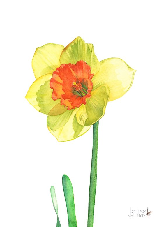 570x779 Daffodil Print Of Watercolor Painting A3 Size D13716 Etsy