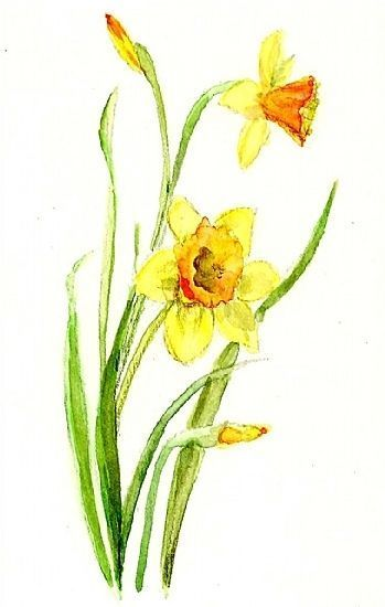 349x550 Gallery For Gt Watercolor Daffodil In 2018
