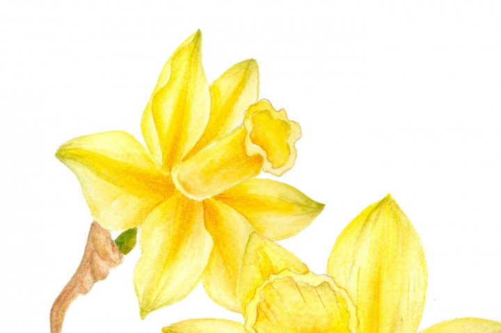720x479 Watercolor Daffodil Clipart By Digitaldesignsandart