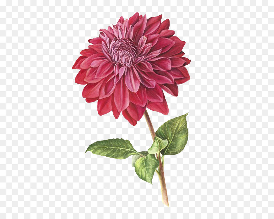 The Best Free Dahlia Watercolor Images Download From 40