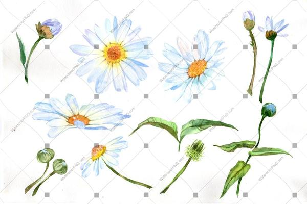600x400 White Daisy Flowers Watercolor Png Watercolorpng