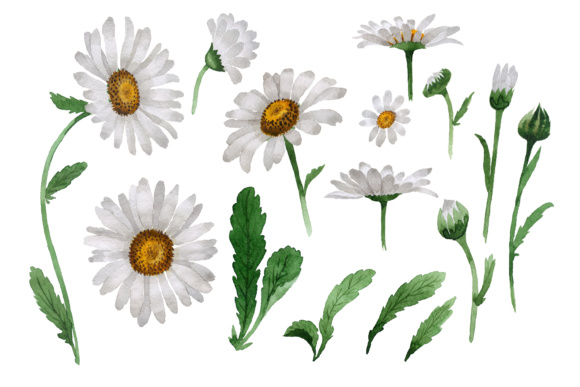 580x387 Beautiful Flower White Daisy Png Watercolor Set Graphic By