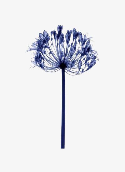 400x550 Blue Dandelion, Blue, Watercolor Painting, Plant Material Png